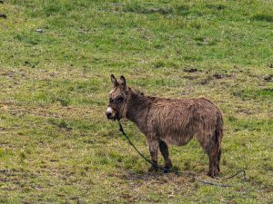 burro, donkey, ternura, ecuador, southamerica, ecuador, ganaderia, chimborazo