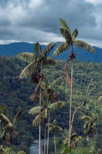 rio pachijal palmera bosque humedo tropical