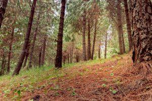 bosque pino camino zuleta ecuador fotos