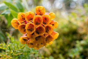 flor naranja cotopaxi