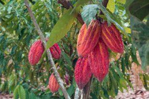cacao fino aroma ecuador manabi